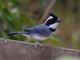 black-capped sparrow  chingolo gorrinegro  Arremon abeillei