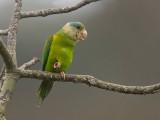 gray-cheecked parakeet  Brotogeris pyrrhopteris