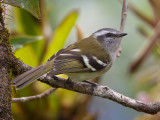 white-banded tyrannulet  Mecocerculus stictopterus