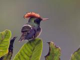 spangled coquette  coqueta coronada  Lophornis stictolophus
