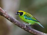 green-and-gold tanager  Tangara schrankii