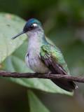 violet-headed hummingbird(Klais guimeti, ESP: colibrí cabeciazul)