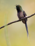 wire-crested thorntail  Popelairia popelairii