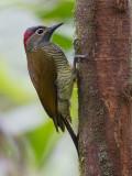 golden-olive woodpecker  Piculus rubiginosus