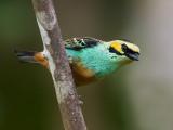 golden-eared tanager  Tangara chrysotis