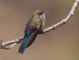 blue-mantled thornbill  Chalcostigma stanleyi