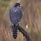 aplomado falcon  Falco femoralis