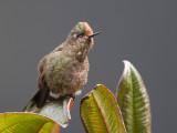 rainbow-bearded thornbill  Chalcostigma herrani