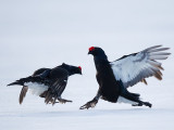 black grouse  Tetrao tetrix