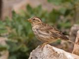 rock sparrow  Petronia petronia
