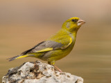 greenfinch  Carduelis chloris
