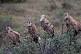 griffon vulture  buitre leonado  Gyps fulvus