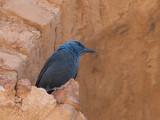 blue rock-thrush  Monticola solitarius