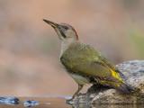 iberian green woodpecker  Picus sharpei