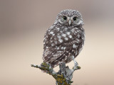 little owl  Athena noctua