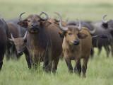 buffalo  Syncerus caffer