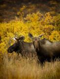 Moose Photos Of Alaska