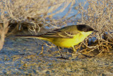 Black-headed Wagtail (Motacilla feldegg)