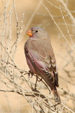 Trumpeter Finch (Bucantetes githagineus)