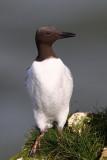 Common Guillemot (Uria aalge)