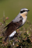 Northern Wheatear (Oenanthe oenanthe) nominate.