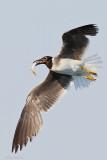 White-eyed Gull (Ichthyaetus leucophthalmus)