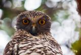 Powerful owl in Avalon