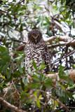 Powerful owl with 70-200