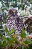 Powerful owl in tree in Avalon
