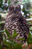 Powerful owl trying to doze