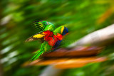Rainbow lorikeet landiing at birdbath