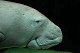 Dugong close up