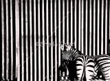 Zebras with fence monochrome
