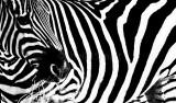 Zebra close crop monochrome
