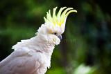 Sulphur crested cockatoo showing crest