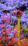 Gymea lily with kangaroo paw and jacaranda