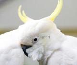 Close up of sulphur crested cockatoo