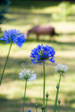 Agapanthus with horse backdrop