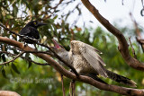 Currawong and channel billed cuckoo feeding