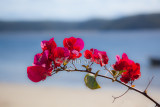 Bougainvillea with Pittwater backdrop