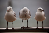 Three silver gulls