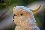 Sulphur crested cockatoo close