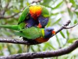 Mating rainbow lorikeets