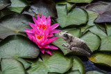 Perons tree frog and water lilies at Palmdale