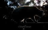 Dougal stalking silhouette