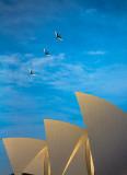 Sacred ibis flying above Sydney Opera House