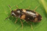 Spilotus quadripustulatus