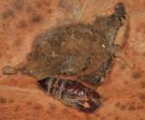 8137 - Virginian Tiger Moth - Spilosoma virginica (cocoon)