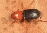 Amphasia interstitialis