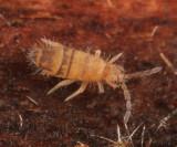 Entomobrya assuta